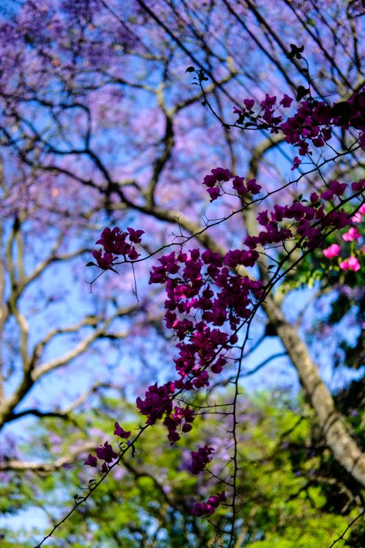 Gleichzeitig mit den Jacarandas blüht auch ein Zierstrauch mit pinkfarbenen Blüten
