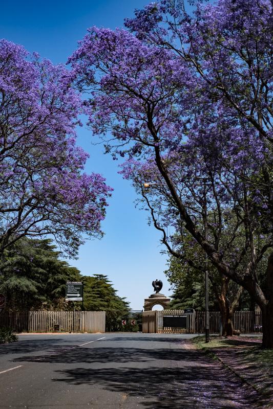 Blühende Jacarandas in Saxonwold auf der Rückseite des Zoo