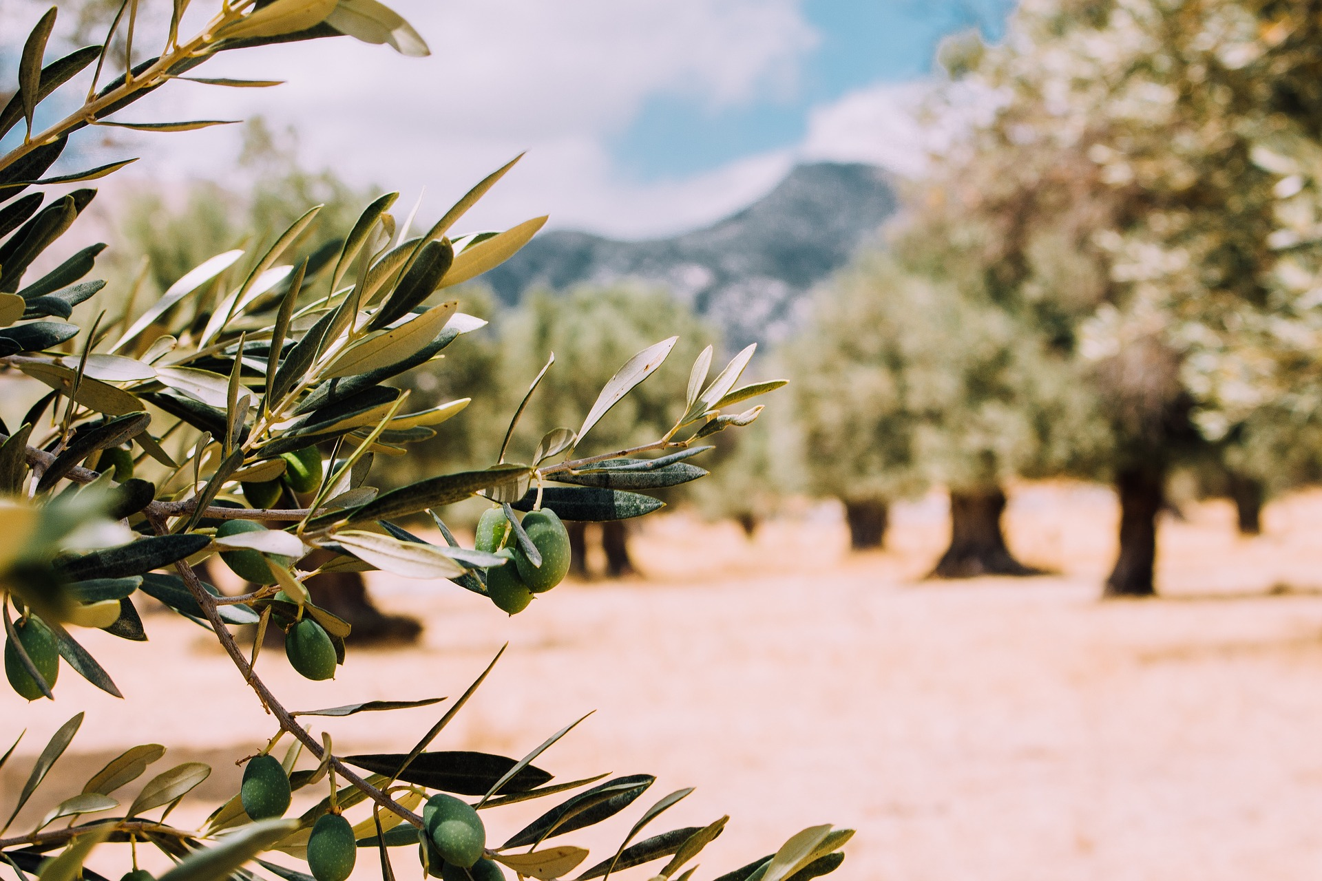 Olive trees lovedry heat,sunshine anddry soil -