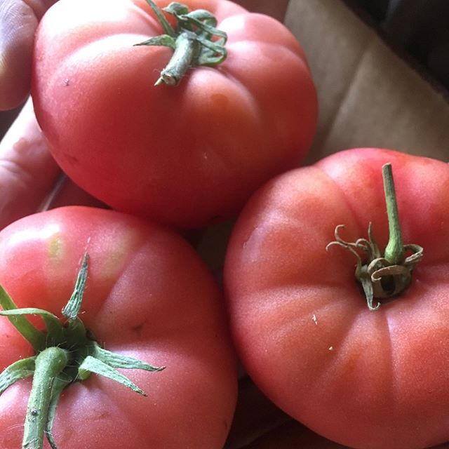 It's gonna be HOT this weekend so get to market early! We are very excited that our tomatoes are starting to come in! Derwood Farmers Market Saturday from 9-1 and Olney Farmers Market Sunday from 8-12 (early hours to beat the heat). #certifiedorganic #localfarm @milkladymarkets @olneyfarmersmarket2018 #derwoodfarmersmarket #olneyfarmersmarket