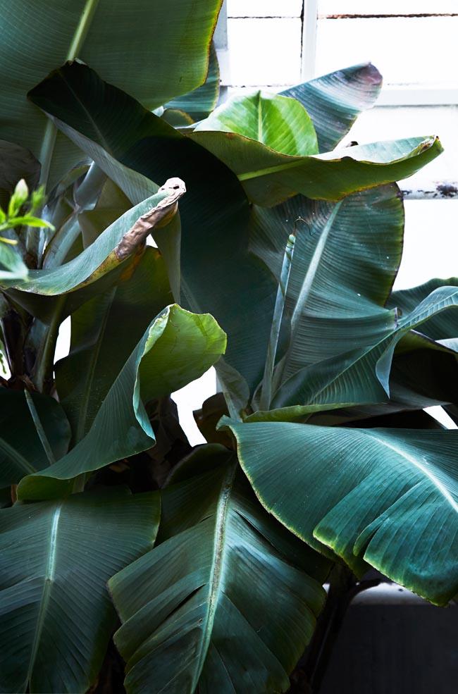 Banana plant -