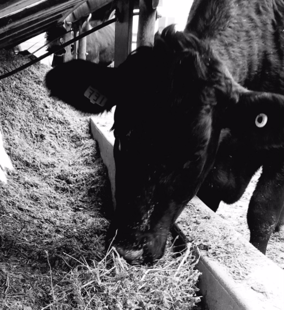 Swisslane Farm's Angus Calf. We love our cows and we raise only the best. This high quality angus is ready to be yours.