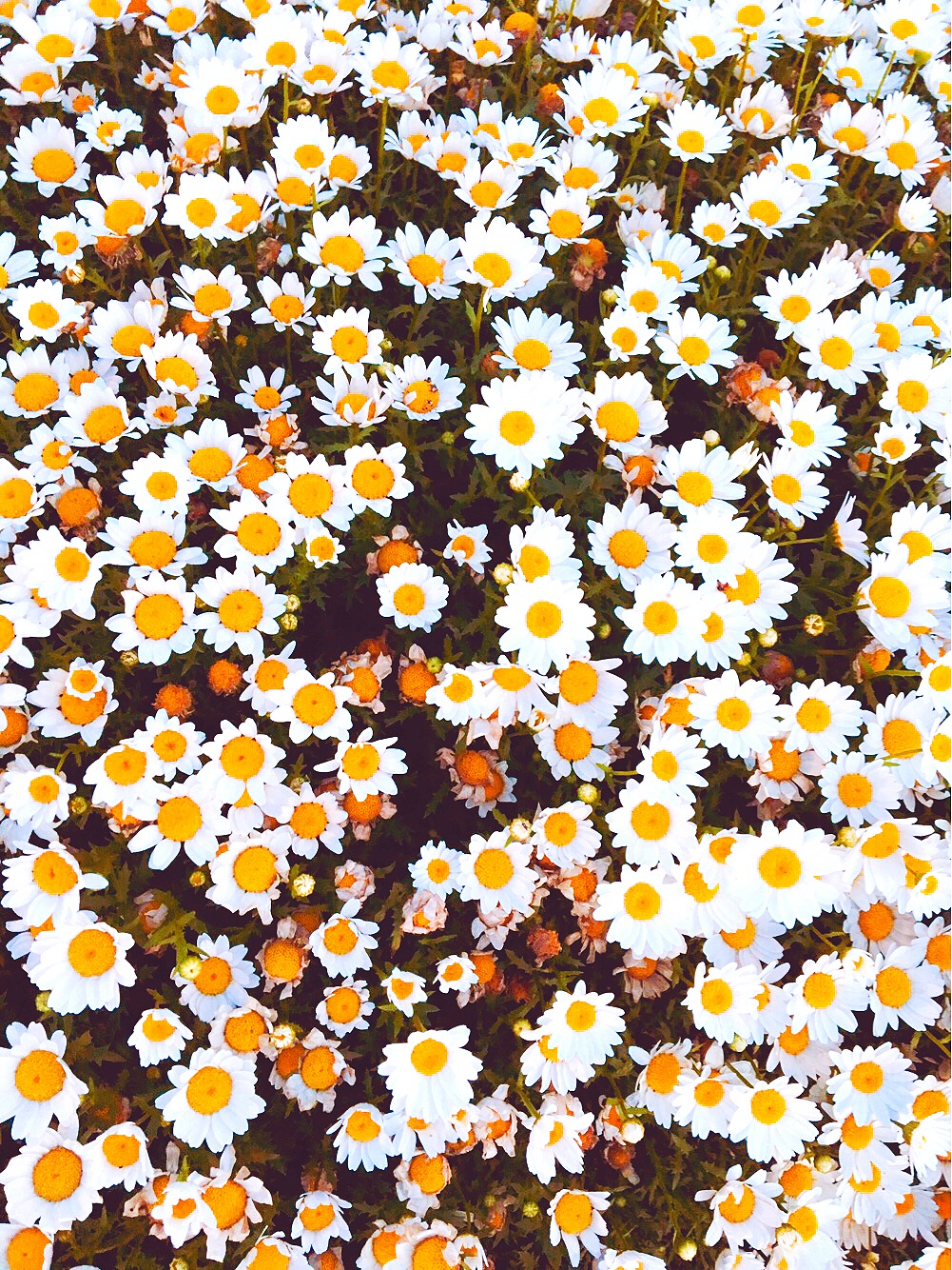 THE FUNKY FRESH / DAISY FLOWER PATTERN