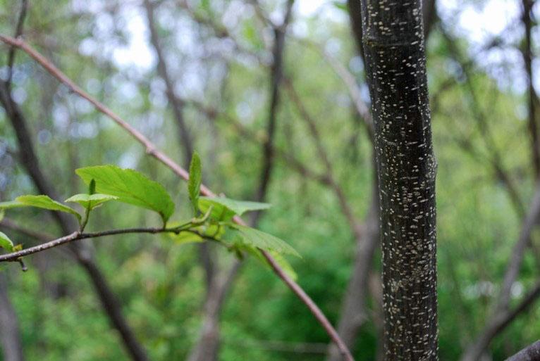 Speckled Alder leaves and speckled branch, Photo by Juliet Kaye
