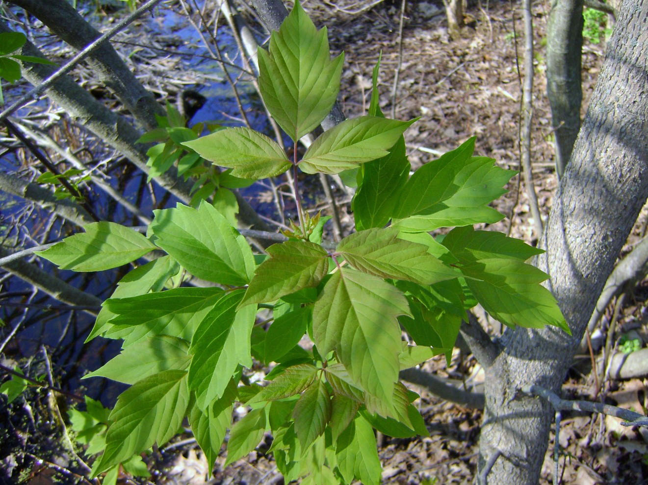 Box Elder compound leaves, Photo by Madeleine DeManche
