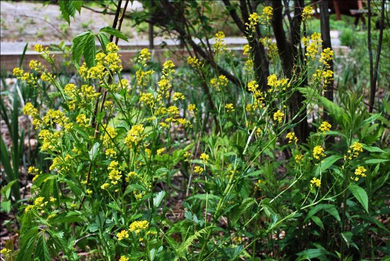 Black Mustard plants, Photo by Juliet Kaye