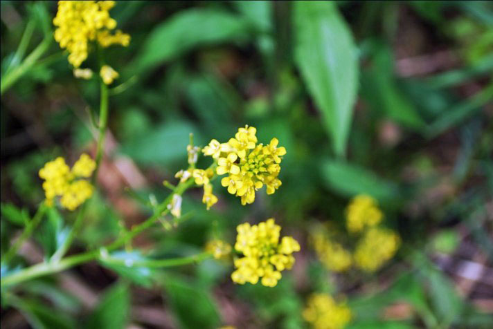 Black Mustard clustered yellow flowers, Photo by Juliet Kaye