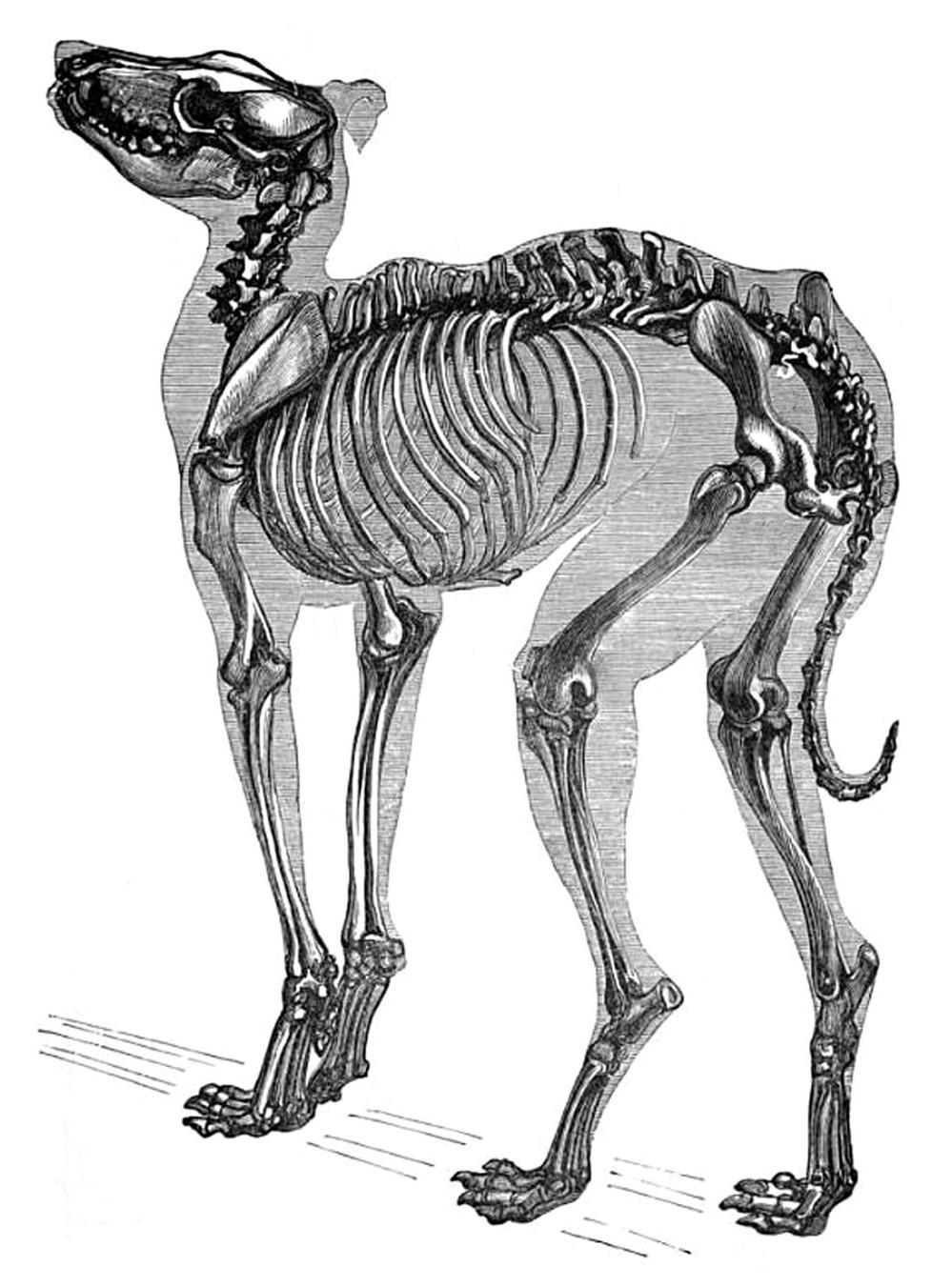 Canine neuromuscular degeneration