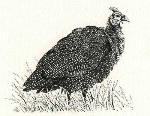 guinea fowl.jpg
