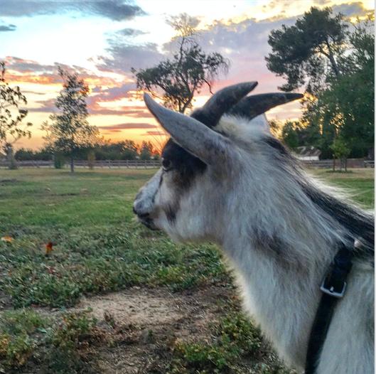 goatsunset.png