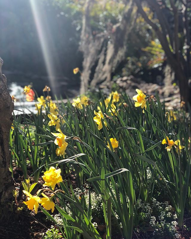 Daffodils 🌼 growing nicely at Bouganvillea Bay Club Resort #landscapephotography #landscapedesign