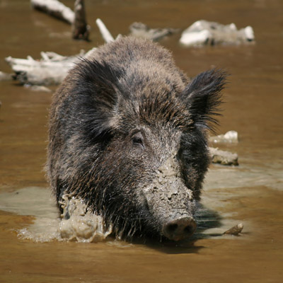 Feral Pigs -