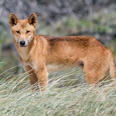 Wild Dogs -