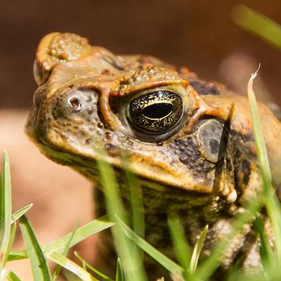 Cane Toads -
