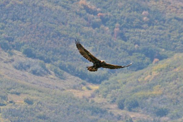 Golden eagle.jpg