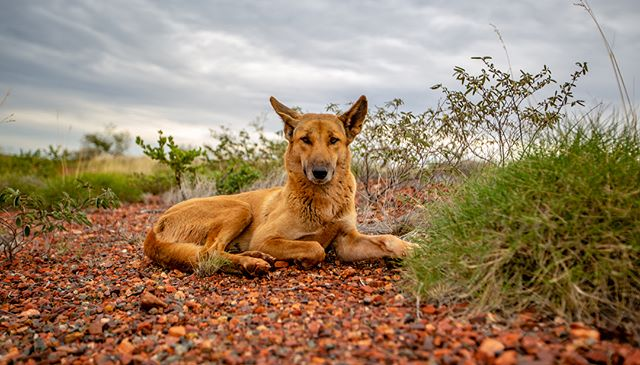 Dingo days and stormy ways, such a moody day but still captivating, good to see the earth get a good drink. #justanotherdayinwa #dingo #storm