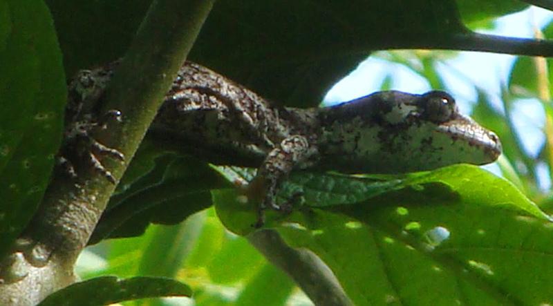 forest-Gecko-credit-Joan-Kirk.jpg