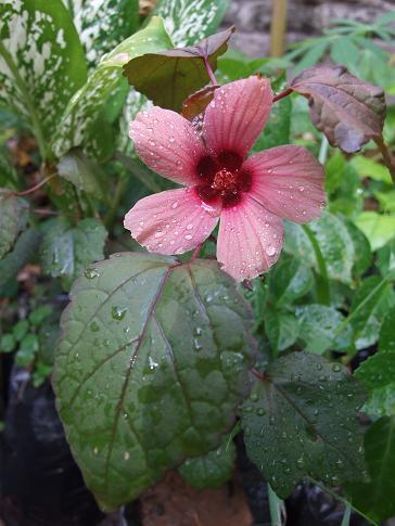 Cranberry Hibiscus flower and leaf.