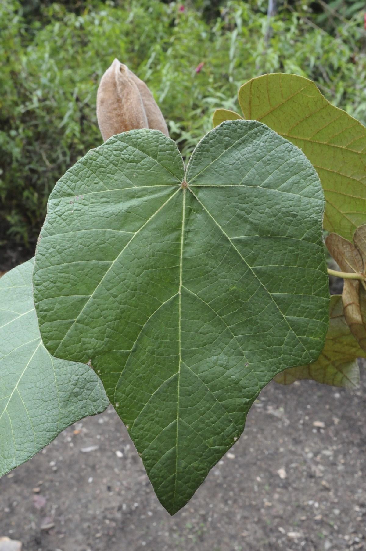 Chiranthodendron leaf.