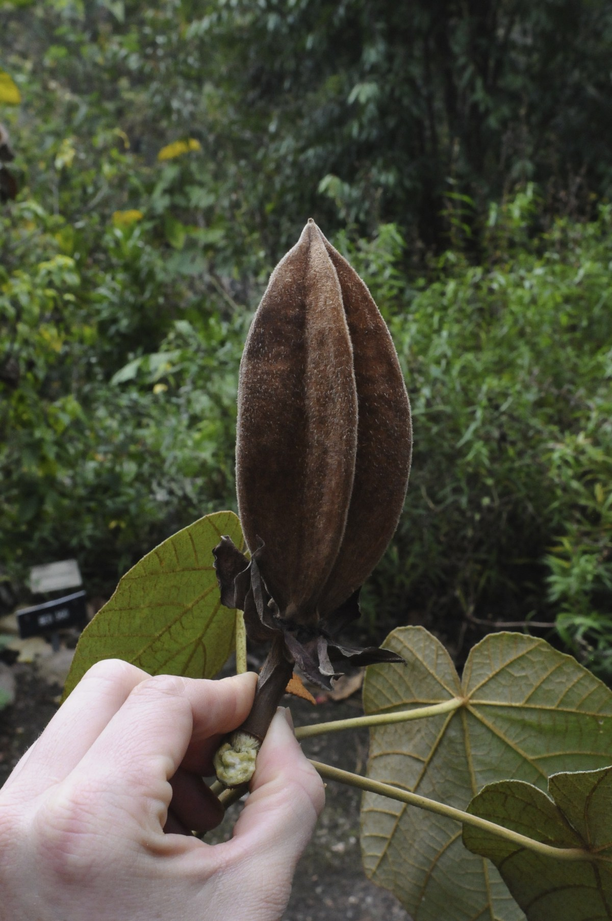 Chiranthodendron has a seedpod not dissimilar in form to the Starfruit. This pod is, however, extremely durable, making it challenging to extract seeds from an unopened pod.