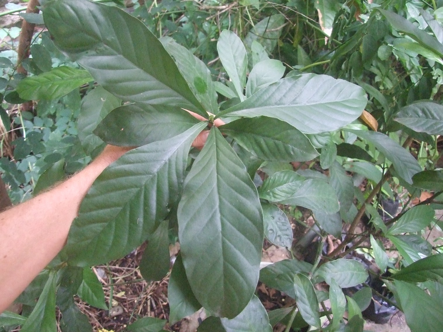 Psychotria viridis shrub.jpg