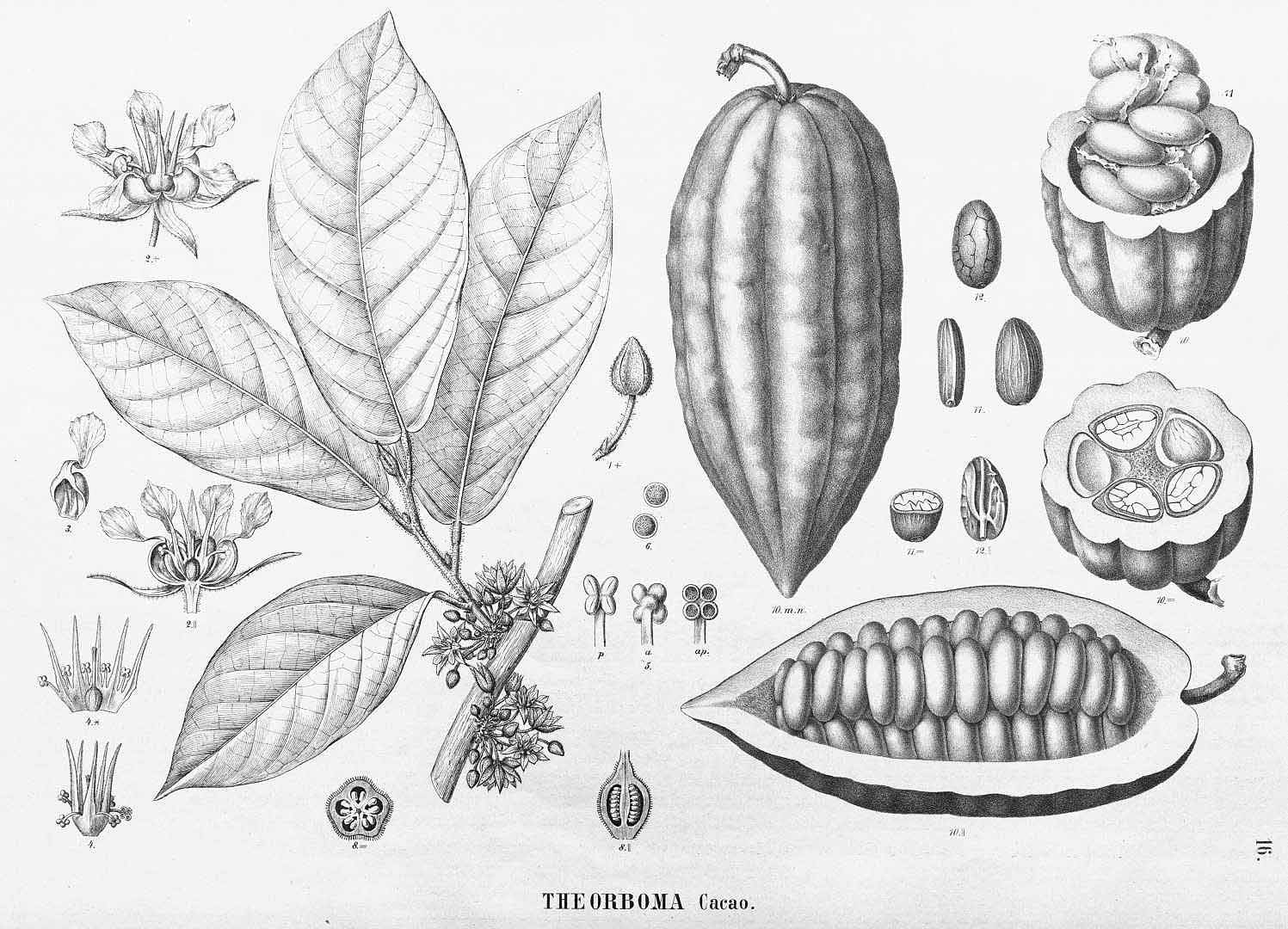 Theobroma lithograph.jpg