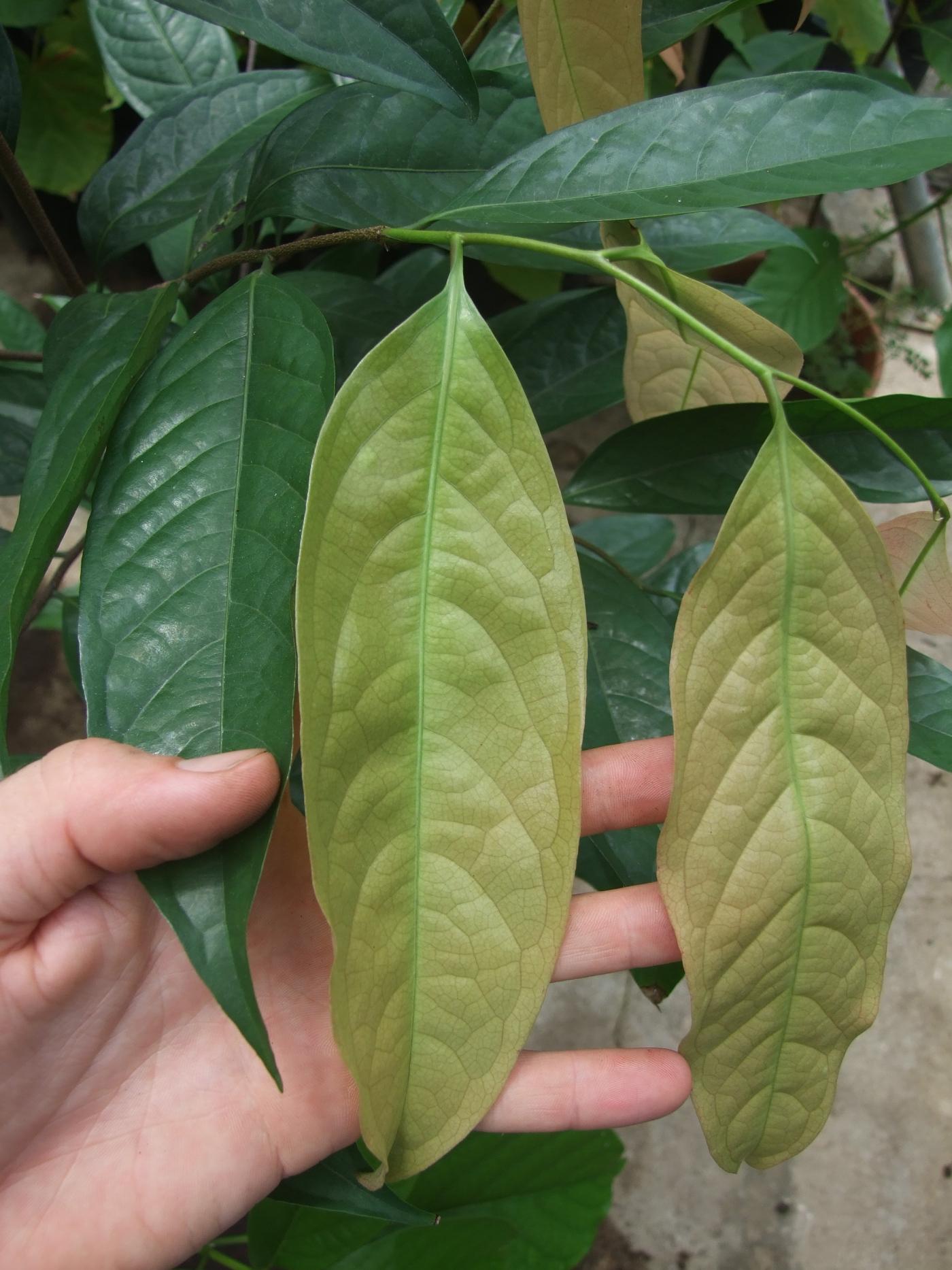 Stelechocarpus burahol new leaf.jpg