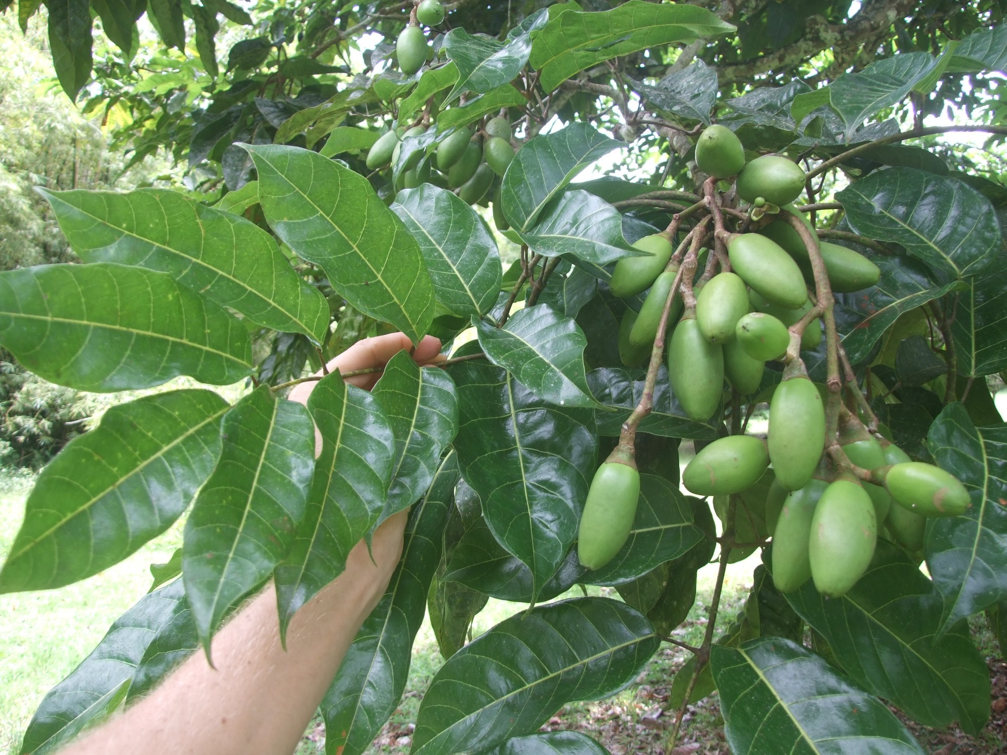 Canarium ovatum fruit close.jpg