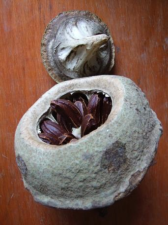 Lecythis sapucaia, opened pod.jpg