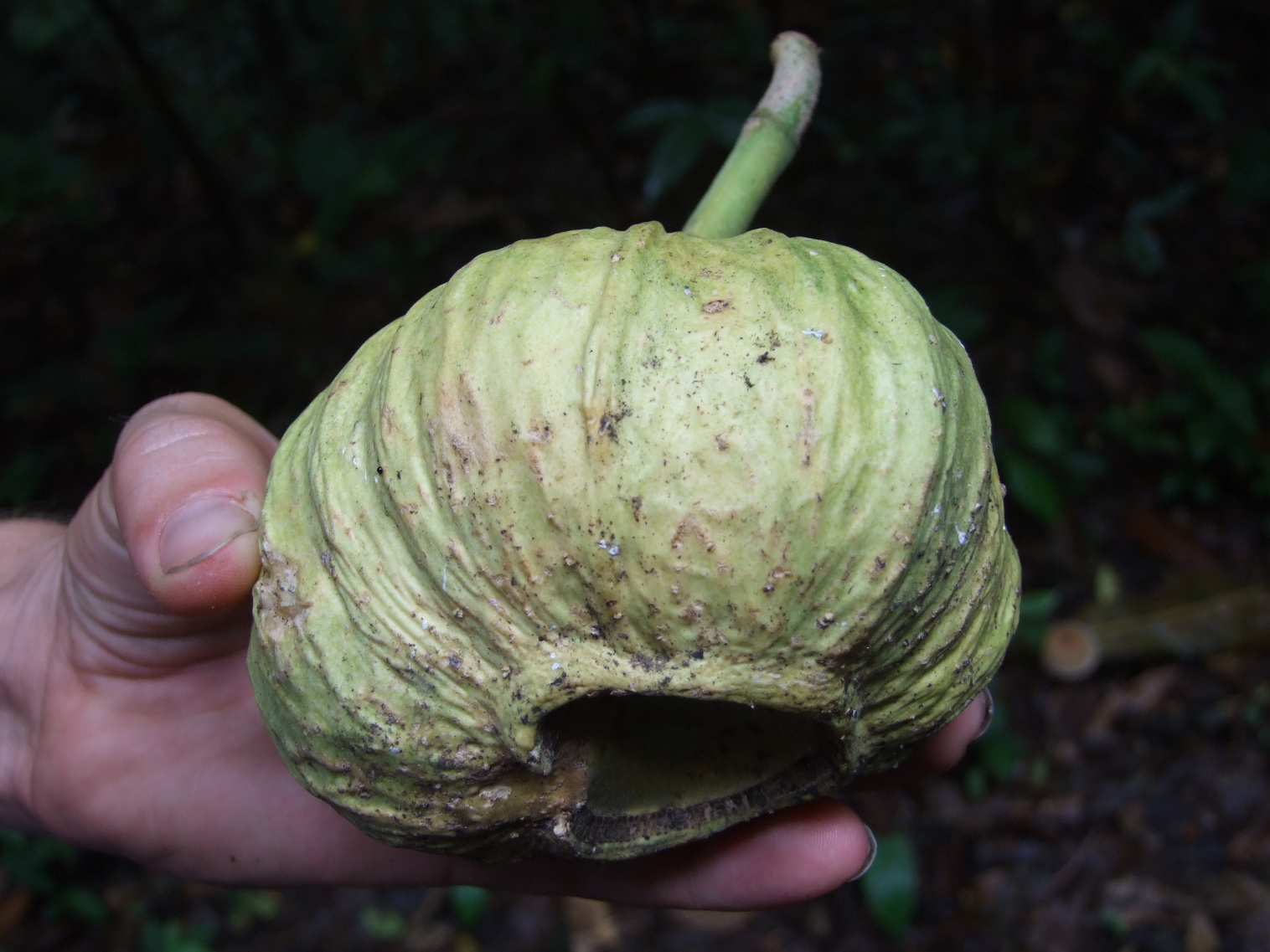 Gustavia superba fruit 1.jpg