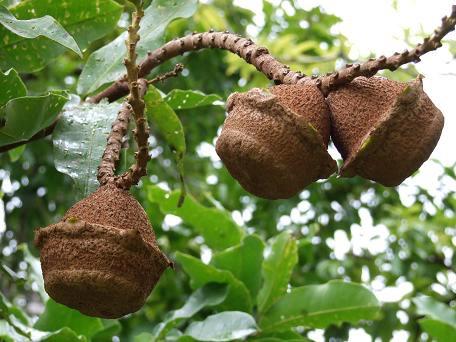 Lecythis spp. mini Brazilnut.jpg