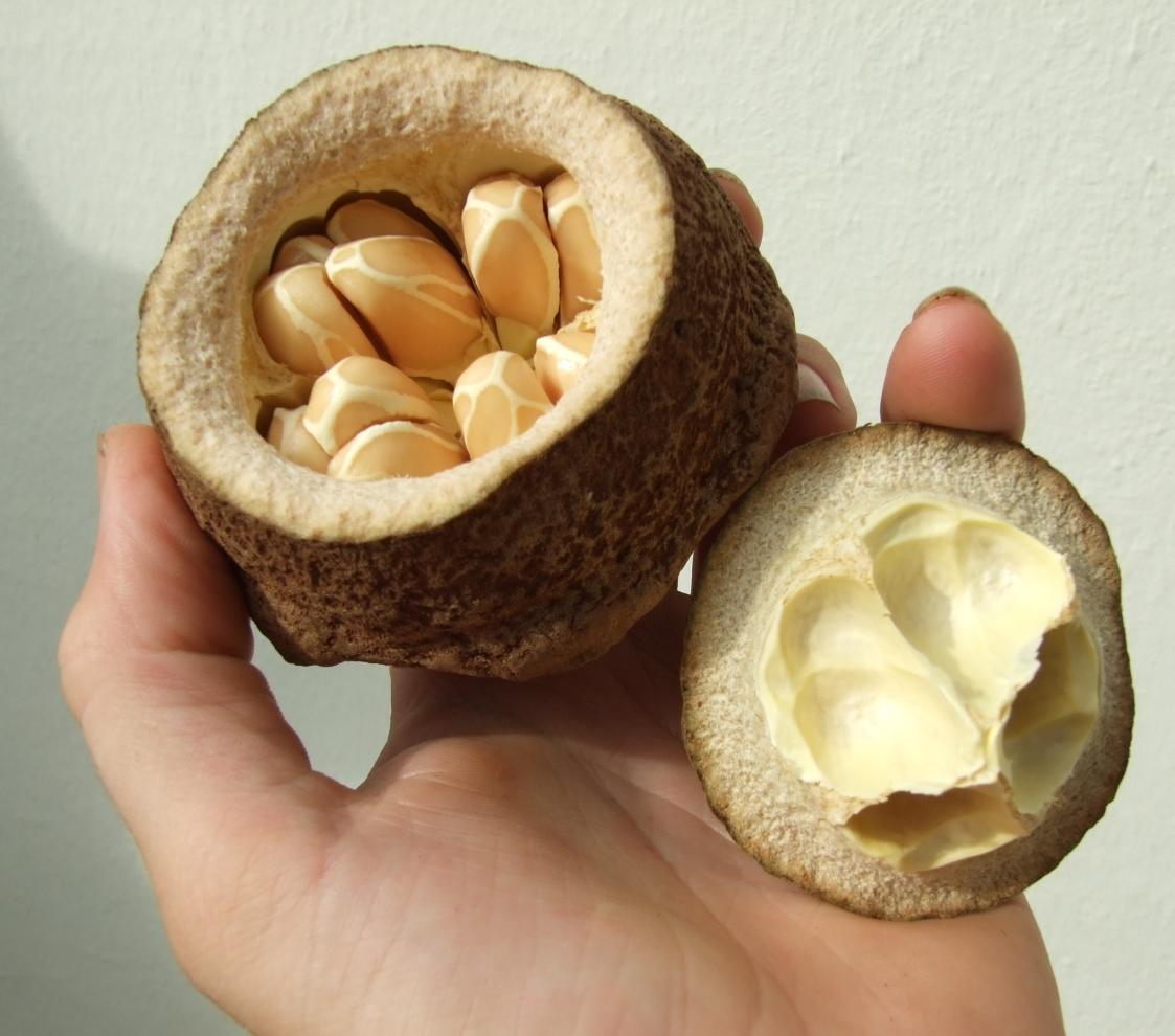 Lecythis elliptica fruit.jpg
