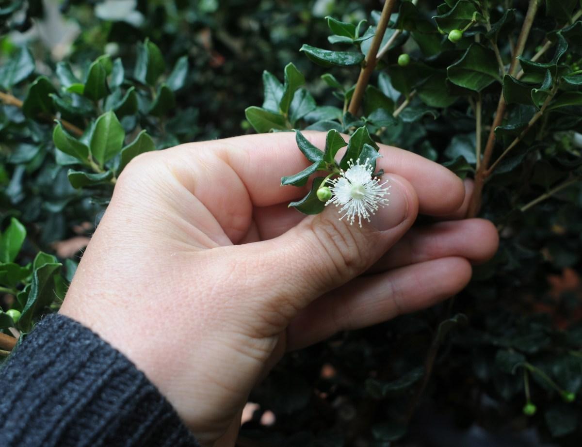 L. apiculata flower.