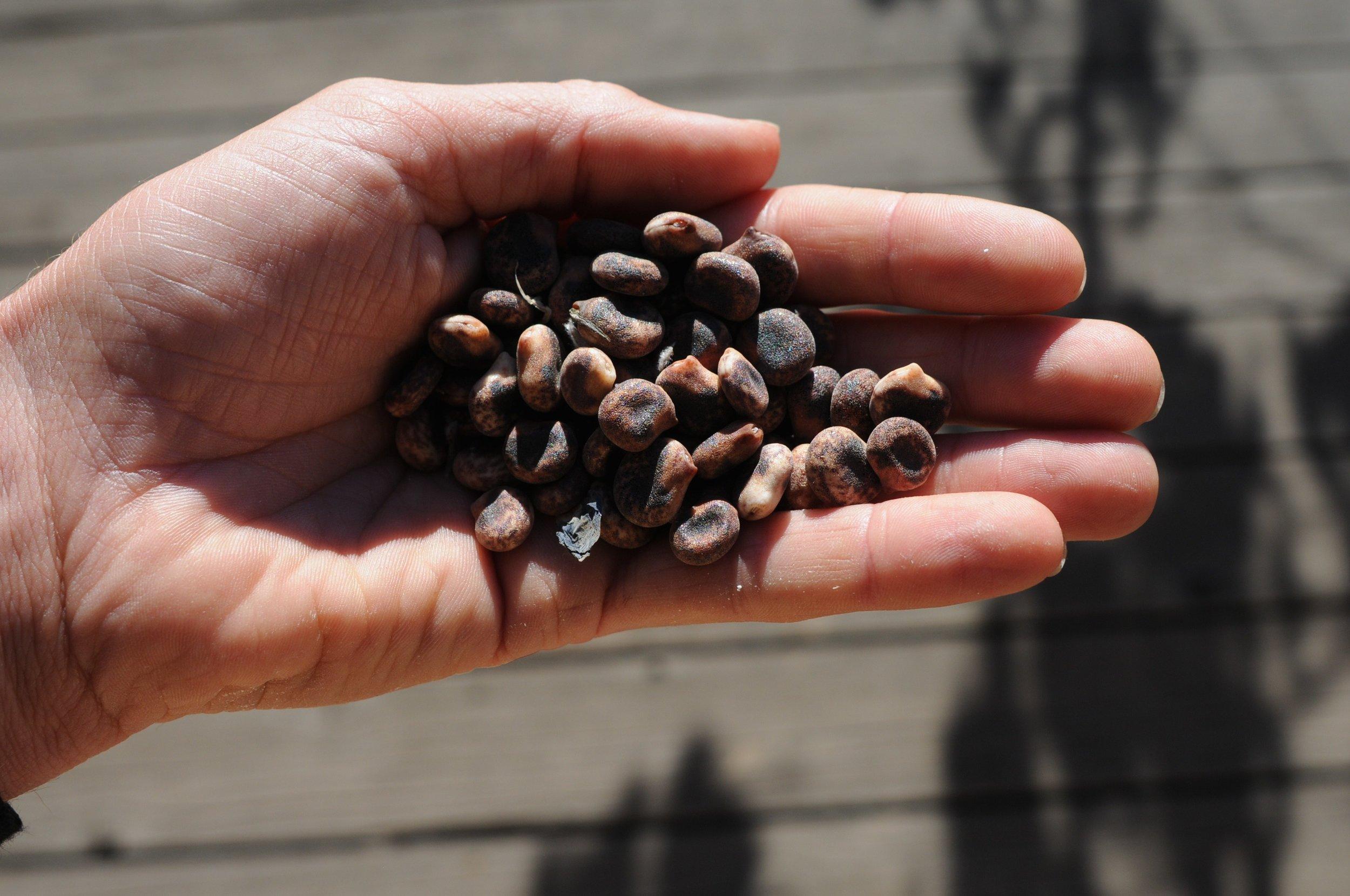 Lupinus pilosus seed.jpg