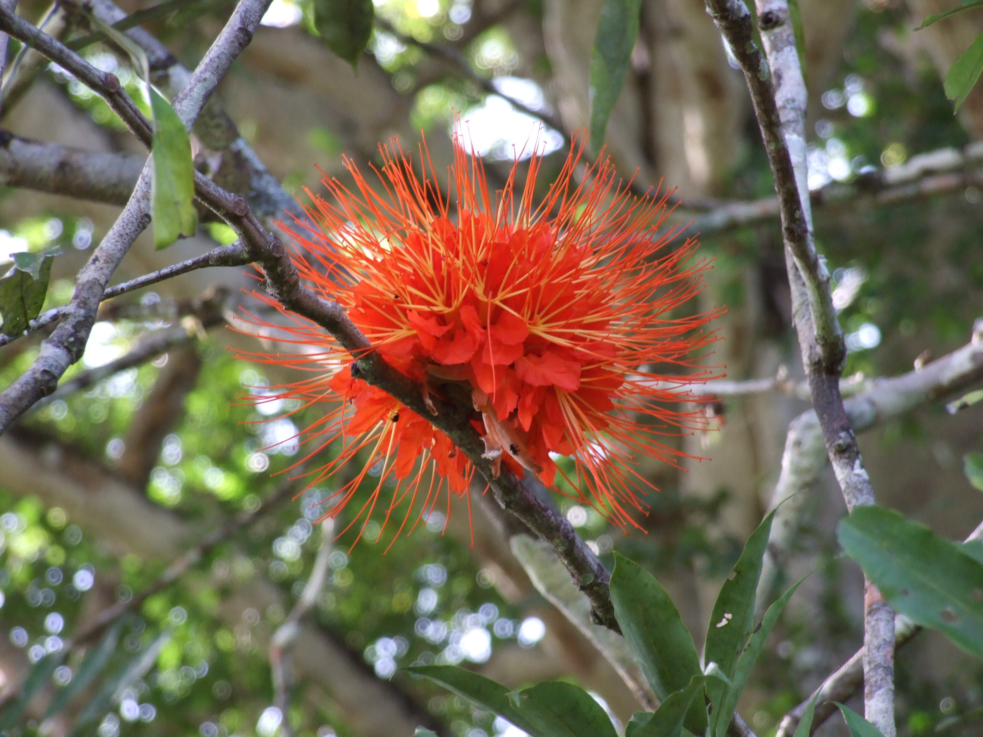 Brownea macrophylla flower tree.jpg
