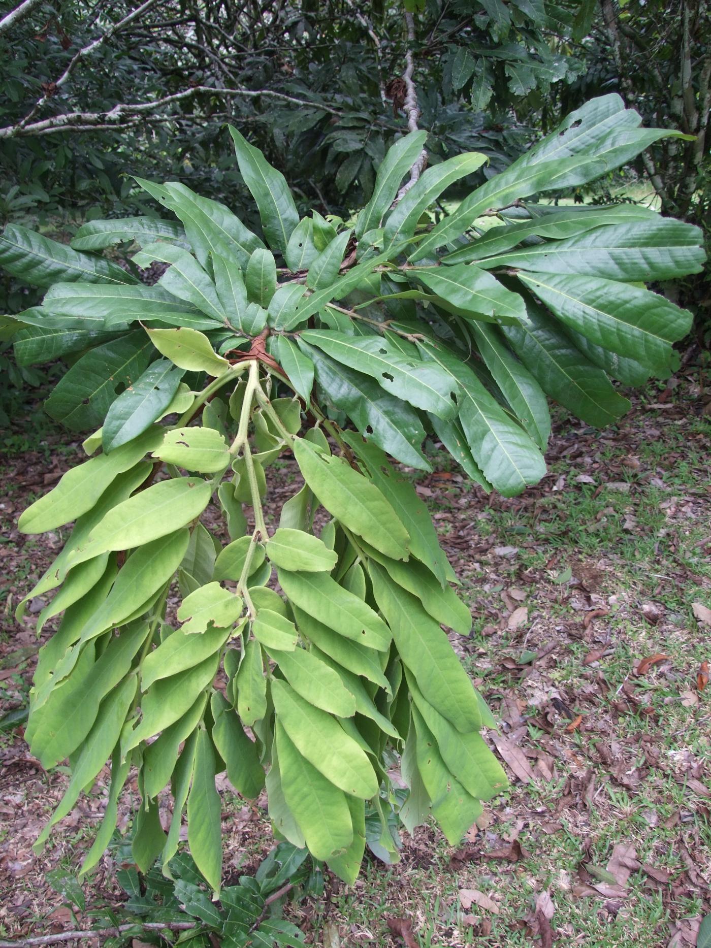 Brownea macrophylla leaf.jpg