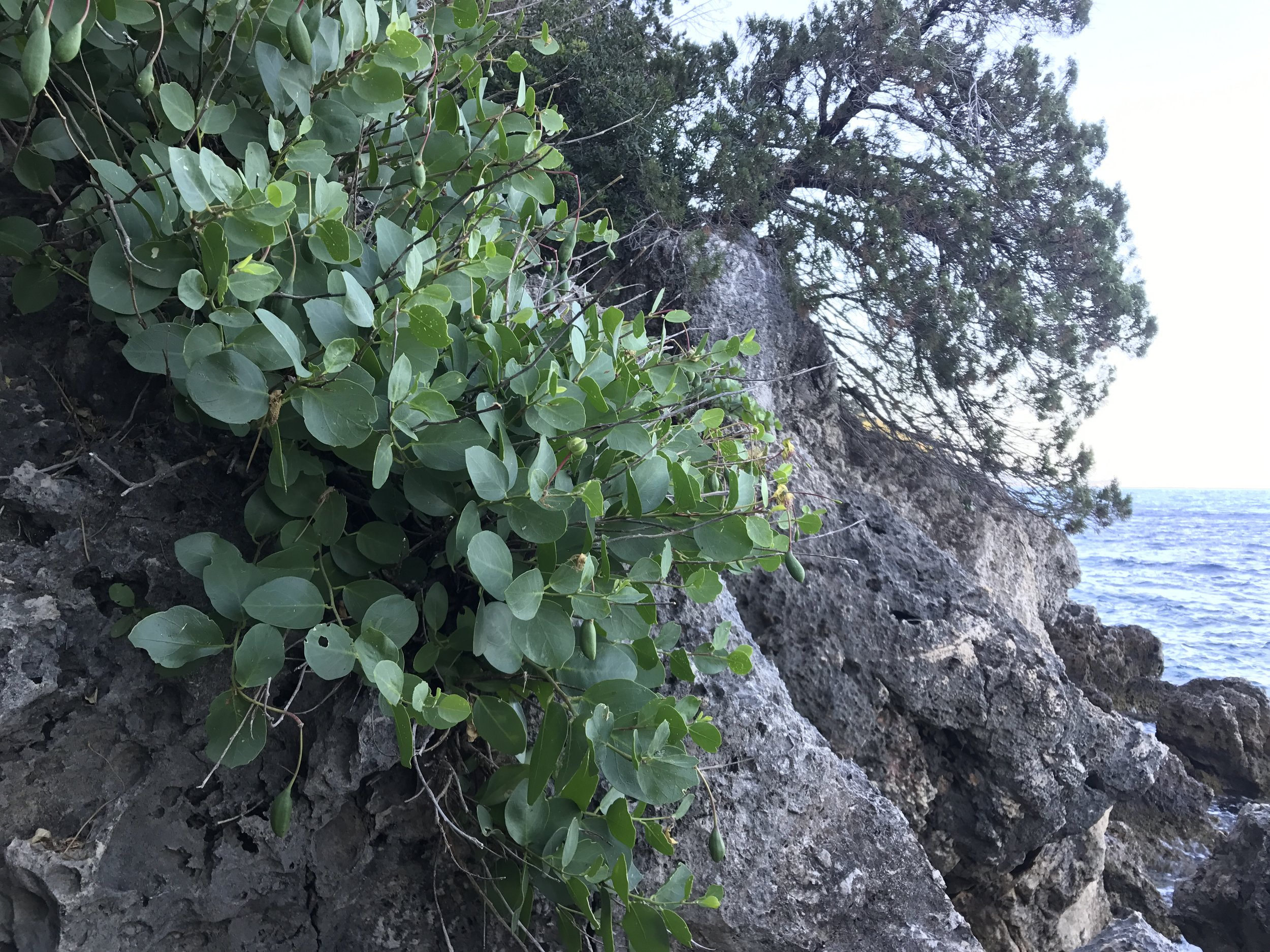 Capparis spinosa in its native habitat on coastal, exposed limestone rocks, Ionian Islands,  Greece.