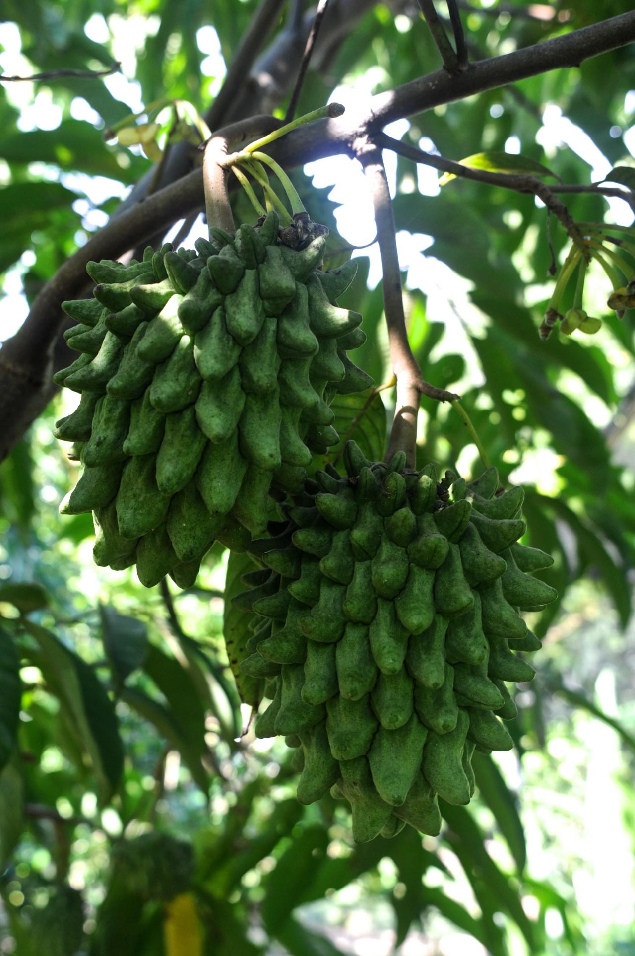 Unripe Biriba fruit.