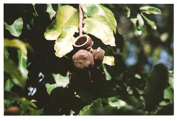 lecithdaceae-lecythesis-spp-mini-brazilnut.jpg