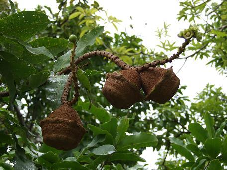 lecythesis-elliptica-mini-brazilnut1.jpg