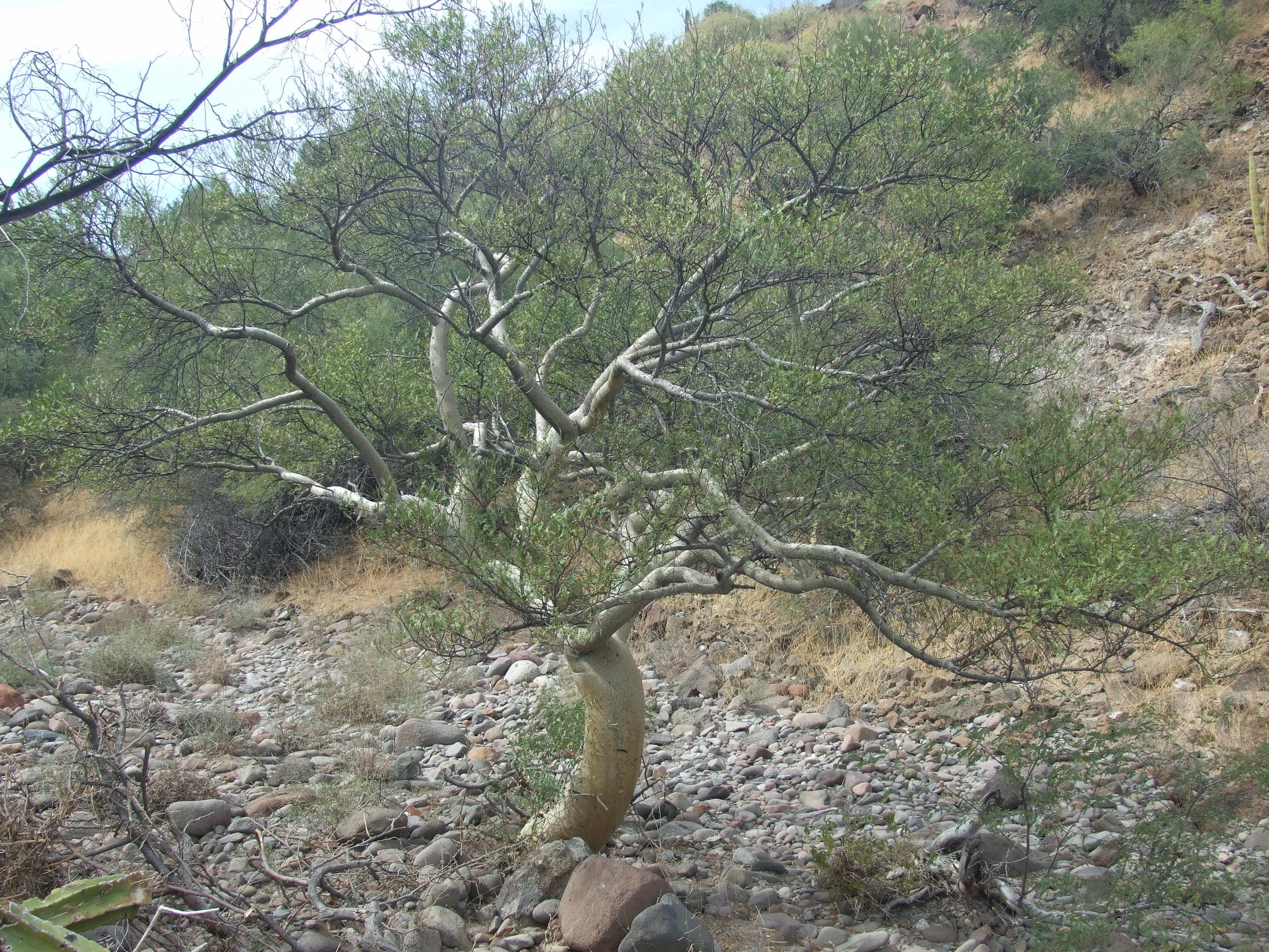 b-microphylla-tree.jpg