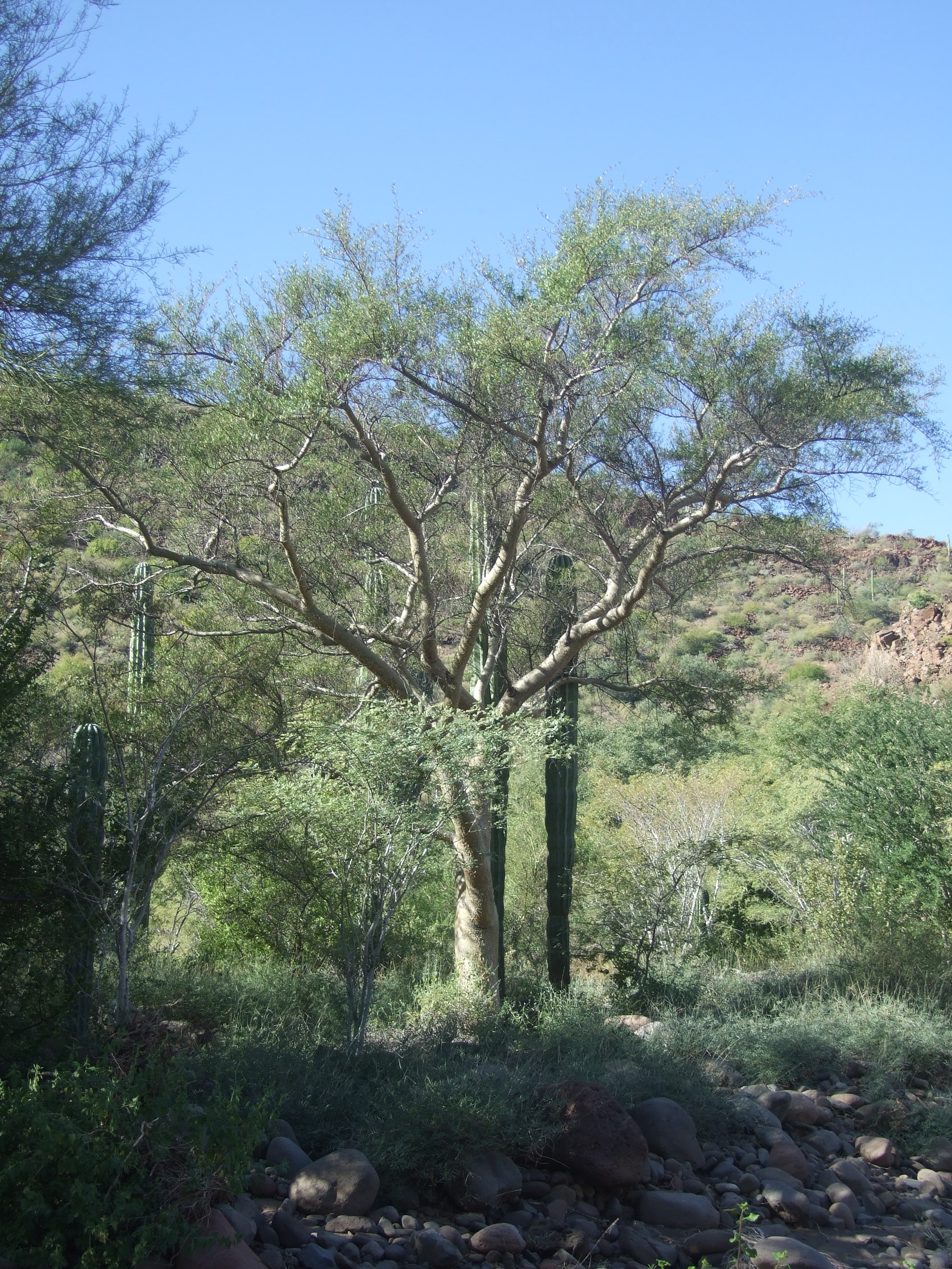 bursera-microphylla-in-arroyo.jpg