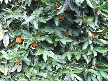 ebenaceae-diospyros-blancoi-mabolo-fruiting-tree.jpg