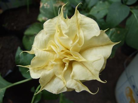 solanaceae-dtura-spp.jpg