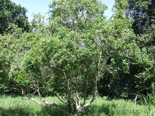 myristicaceae-spp-tree.jpg