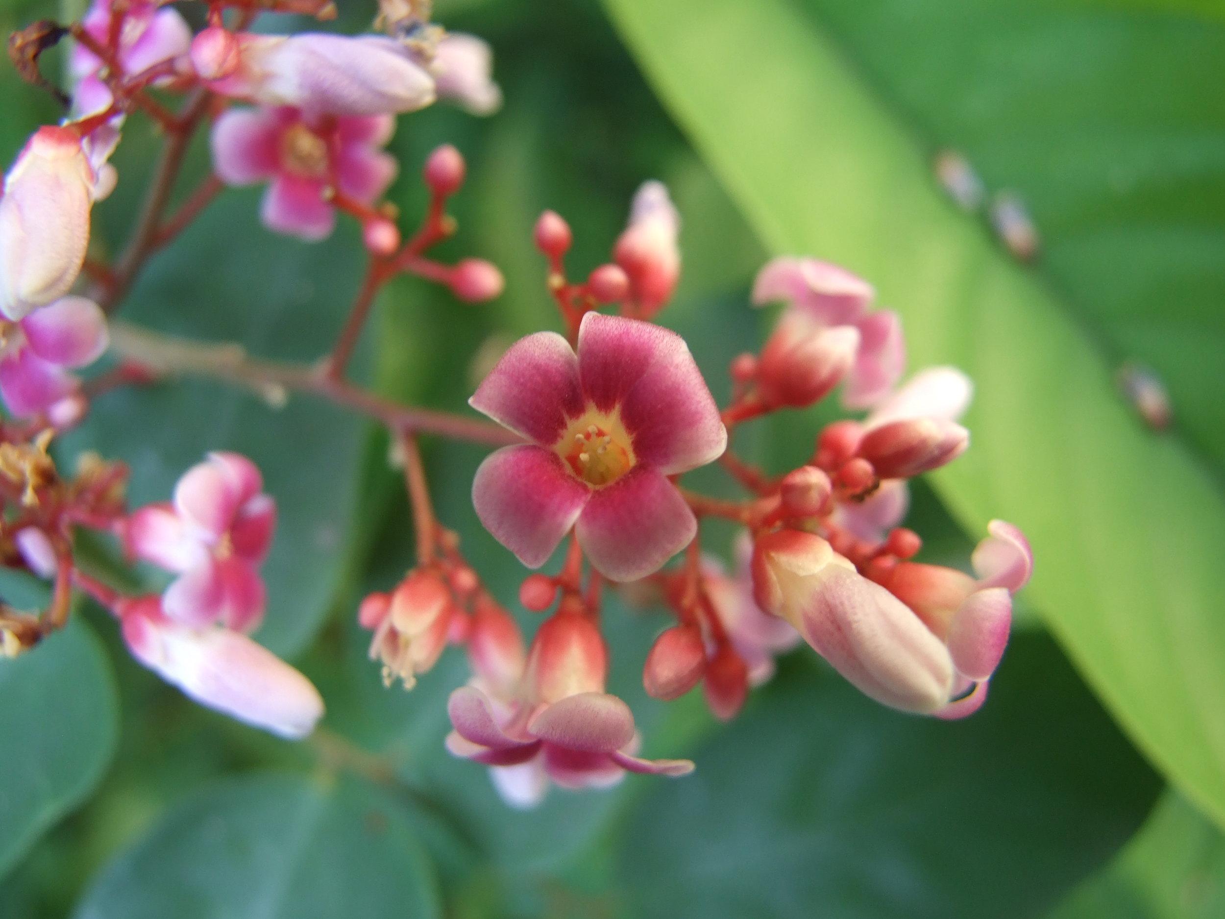 a-carambola-flower.jpg