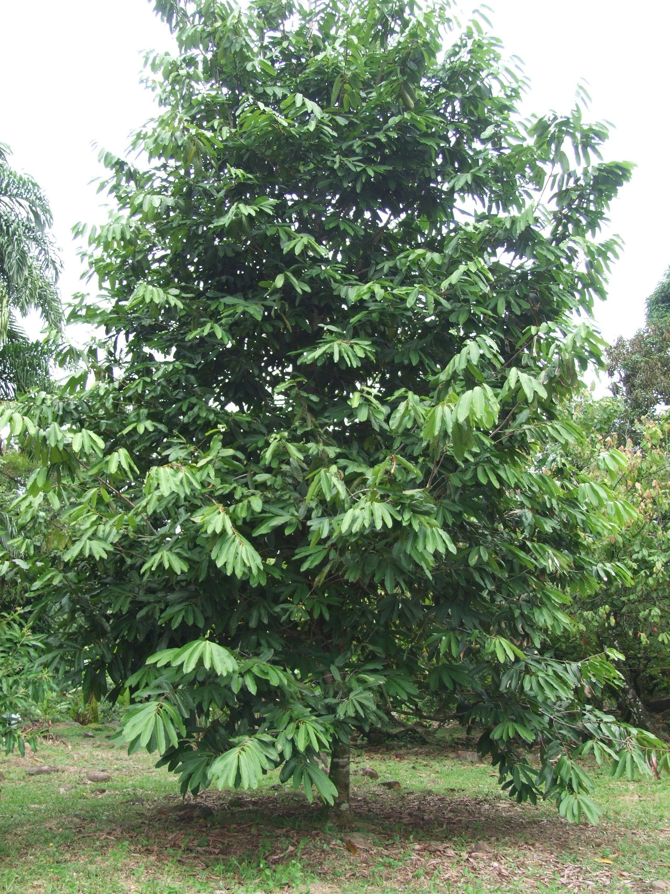sonsapote-tree.jpg