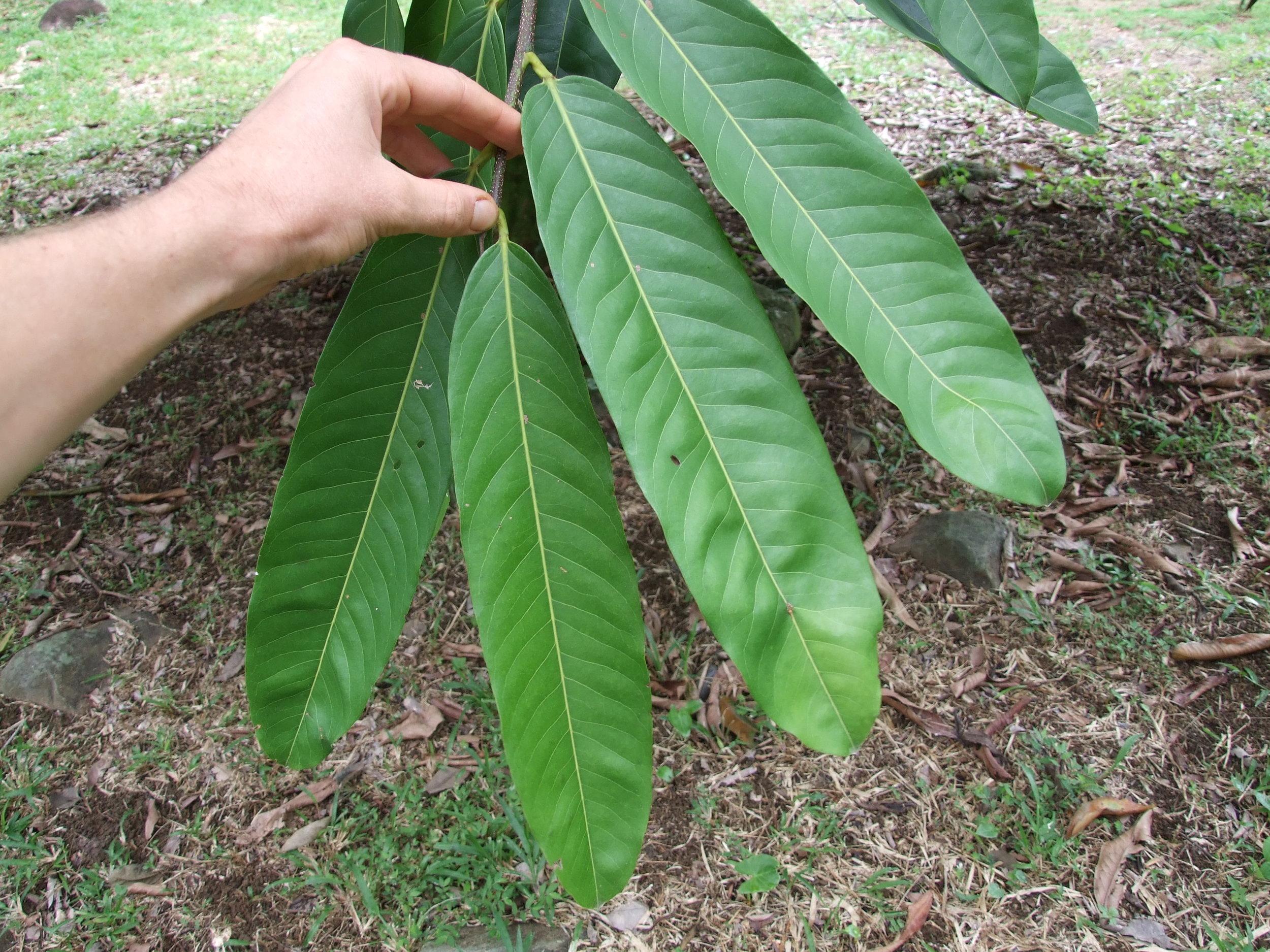 sonsapote-leaf1.jpg