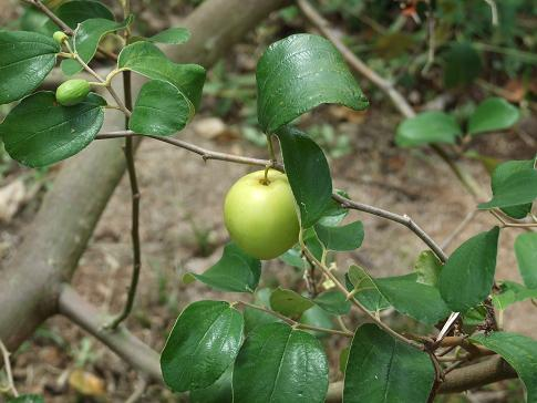 zizyphus-mauritiana-single-fruit.jpg
