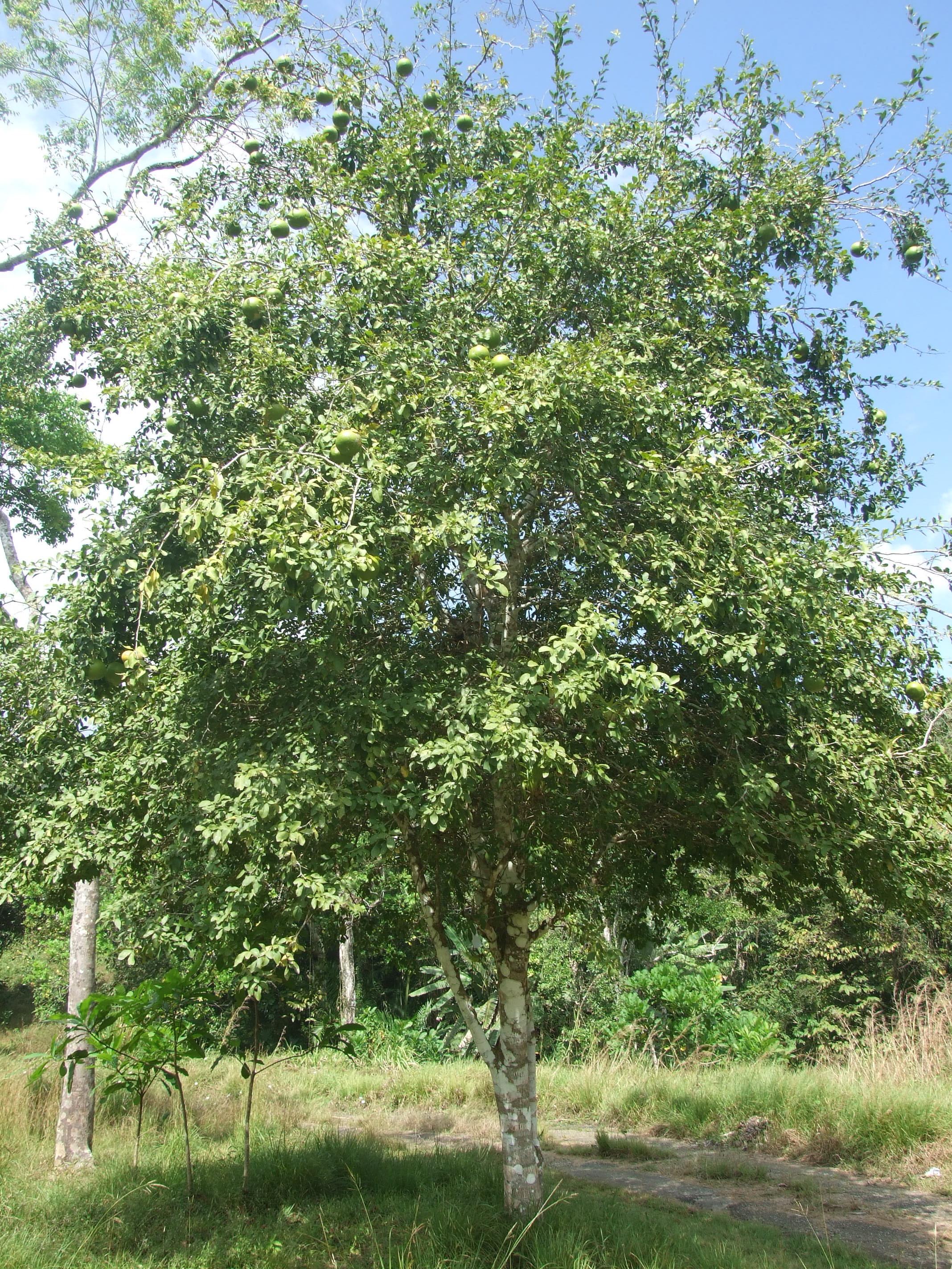 Bael Tree